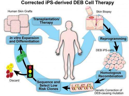 Blistering skin disease may be treatable with 'therapeutic reprogramming'