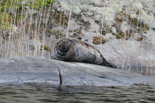 Decrease of genetic diversity in the endangered Saimaa ringed seal continues