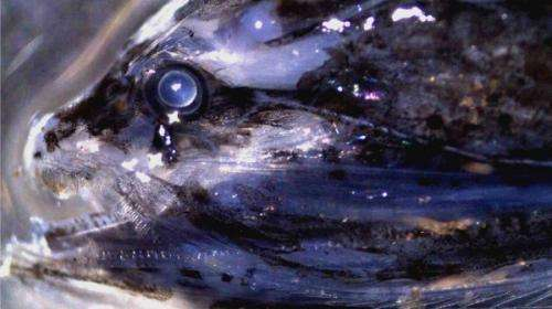 Deep sea fish eyesight similar to human vision