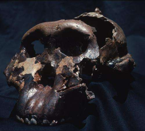 Two million years ago, human relative 'Nutcracker Man' lived on tiger nuts