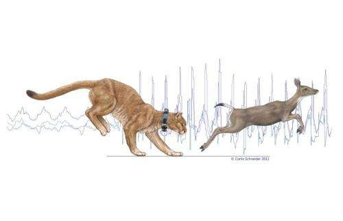 Study of mountain lion energetics shows the power of the pounce