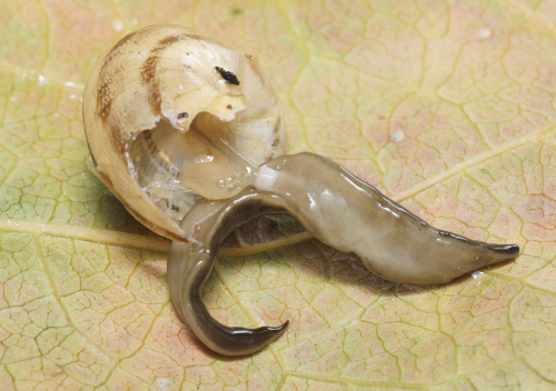 Discovery in France of the New Guinea flatworm