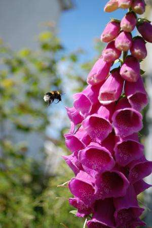Diversity in UK gardens aiding fight to save threatened bumblebees, study suggests