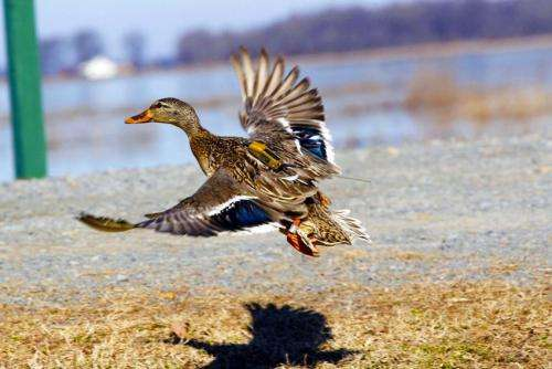 Duck migration study reveals importance of conserving wetlands, MU researchers find