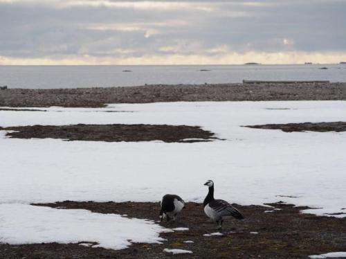 Dutch barnacle geese have more active immune system than same species in the North