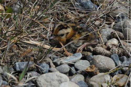 Earlier snowmelt prompting earlier breeding of Arctic birds