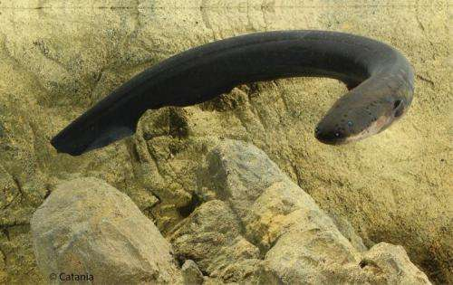 Electric eels deliver Taser-like shocks