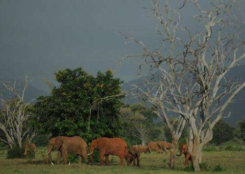 Elephants forage in Tsavo East National park in southern Kenya, on March 20, 2012