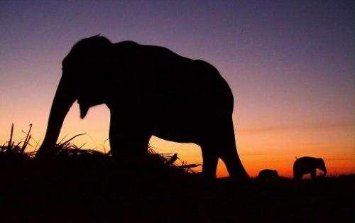 Elephants graze at sunset on October 29, 2002, in Kaziranga National Park in India's northeastern Assam state