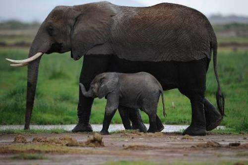 Elephants roam Kenya's Amboseli game reserve on December 30, 2012