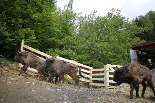 European bison are released at a reserve in Armenis village, south-western Romania on May 17, 2014