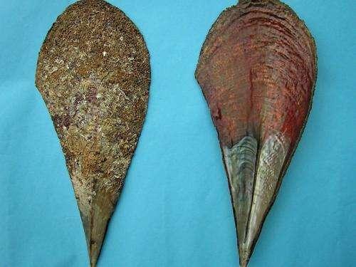 Exemplar crystallites in mussels