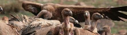 Experts warn of dangers of veterinary pharmaceuticals to wildlife