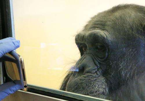 Empathy chimpanzees offer is key to understanding human engagement