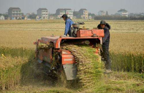 Farmers harvest a rice crop in the village of Gangzhong in China's eastern Zhejiang province on November 19, 2013