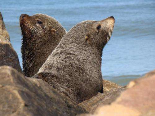 Seals and sea lions likely spread tuberculosis to humans, new research shows