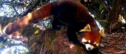 First video footage of wild red pandas in Myanmar