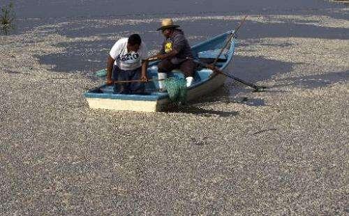 """Fishermen collect dead """"popocha"""" fish at the Cajititlan lagoon in Tlajomulco de Zuniga, Jalisco State, Mexico, on  Sep"""