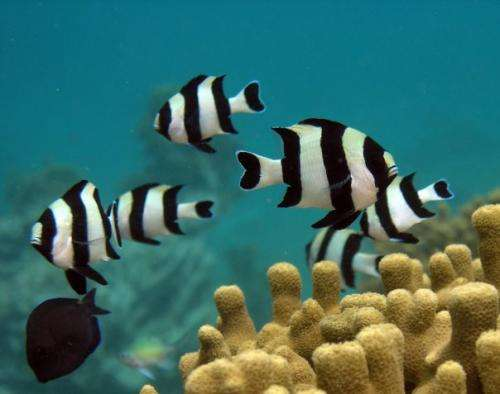 Fish from acidic ocean waters less able to smell predators