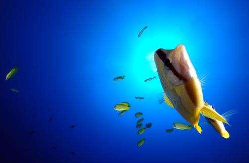 Fish species unique to Hawaii dominate deep coral reefs in Northwestern Hawaiian Islands