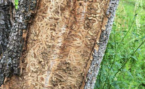 Foresters monitoring the emerald ash borer on the Oak Ridge Reservation