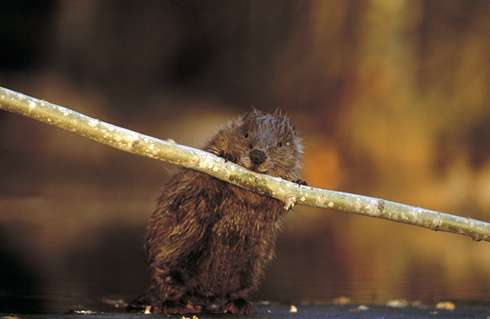 Found: one beaver