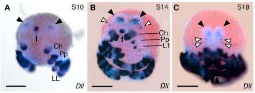 Four-eyed daddy longlegs fossil fills in evolutionary tree