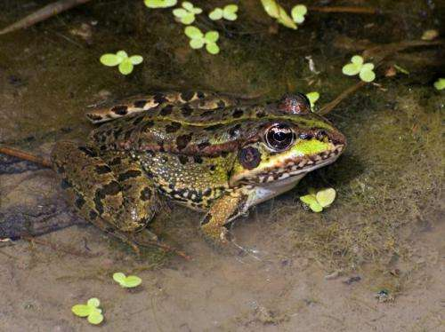 Frogs have developed rapid defences against the red swamp crayfish