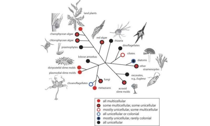 From one cell to many: How did multicellularity evolve?