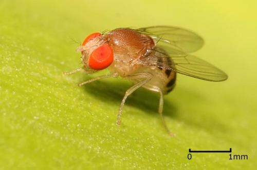 Fruit flies show mark of intelligence in thinking before they act
