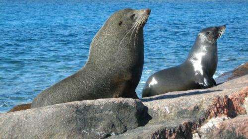 Fur seal population bounces back while sea lions struggle
