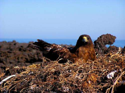 Galápagos hawks hand down lice like family heirlooms