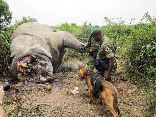 Game rangers look at the large bloated carcass of an adult elephant killed for its tusks in the Ishasha Valley, Virunga National