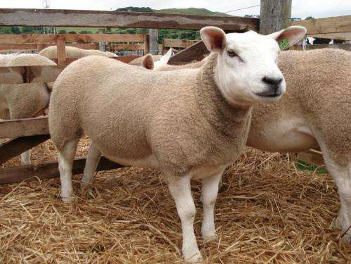 The Sheep Genome: Study shows how sheep first separated from