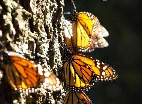 Genetic secrets of the monarch butterfly revealed