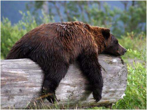 Grizzly research offers surprising insights into diabetes-obesity link
