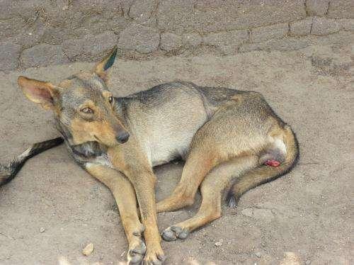 11,000-year-old living dog cancer reveals its secrets