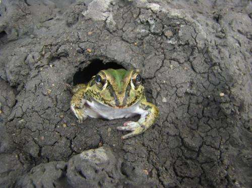 Hibernating frogs give clues to halting muscle wastage