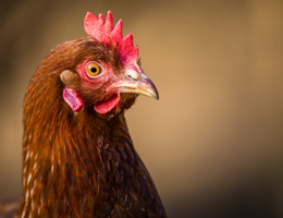 How did the chicken beat the infection?