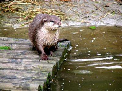 How healthy are Scotland's otters?