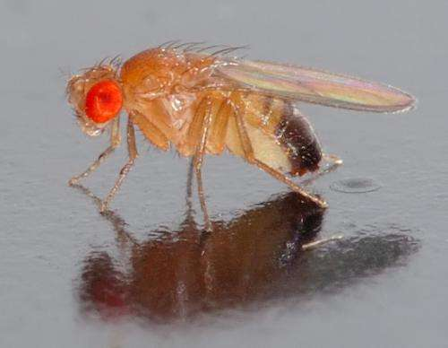 How the fruit fly could help us sniff out drugs and bombs