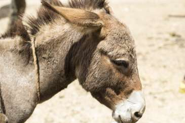 How to tell what a donkey is thinking