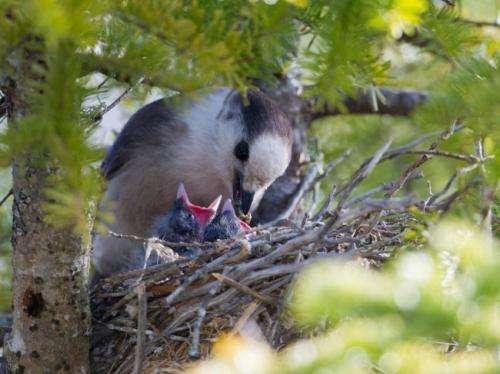 Iconic boreal bird species declining in the Adirondacks, study says