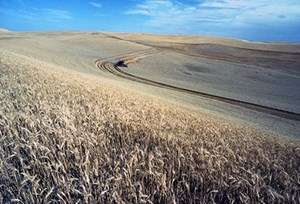 Ideology prevents wheat growers from converting to more profitable methods, new study shows