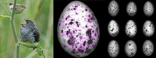 Birds evolve 'signature' patterns to distinguish cuckoo eggs from their own