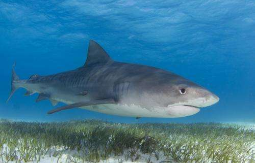 Imbalance of sharks and sea turtles challenges ecosystems
