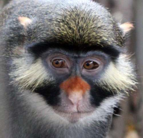 To avoid interbreeding, monkeys have undergone evolution in facial appearance