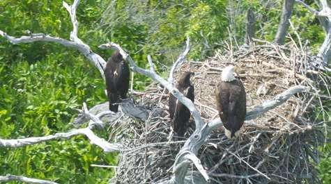 James River eagle population continues its historic rise