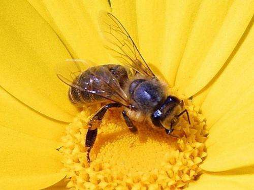 Scientists track gene activity when honey bees do and don't eat honey