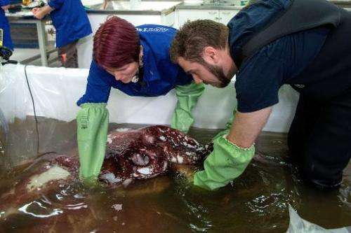 Kat Bolstad (L) of Auckland University works on a colossal squid with Aaron Evans of Otago University as it is defrosted at Te P